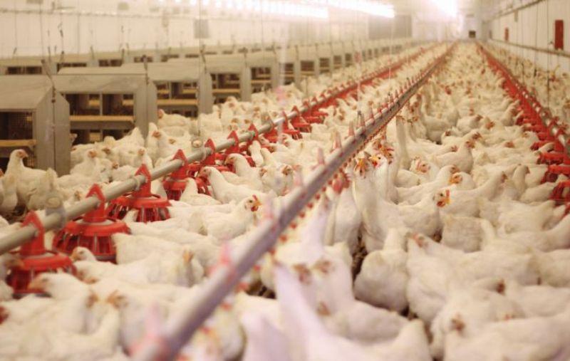 تولید هشت درصد مرغ گوشتی کشور در خراسان رضوی
